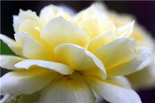 Luminous-Yellow-White-Rose