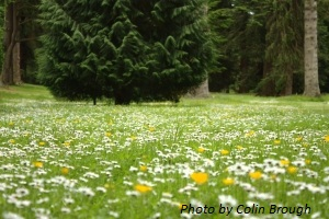 Open-Meadow-With-Daisies.jpg
